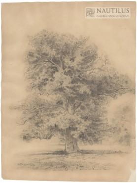 Dąb, 1896